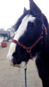 Bryn Pembrokeshire Shire Horse