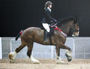 Ed Pembrokeshire Shire Horse
