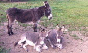 Other Dyfed Shire Farm Animals