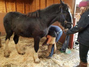 Morgana Shire Horse Pembrokeshire