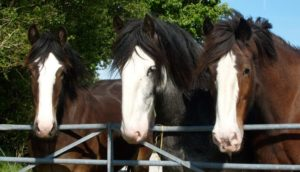 Horses from Dyfed Shires