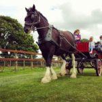 Santes the Dyfed Shires Horse