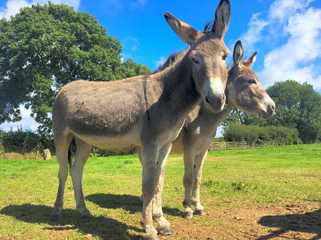 Donkeys at Dyfed shires